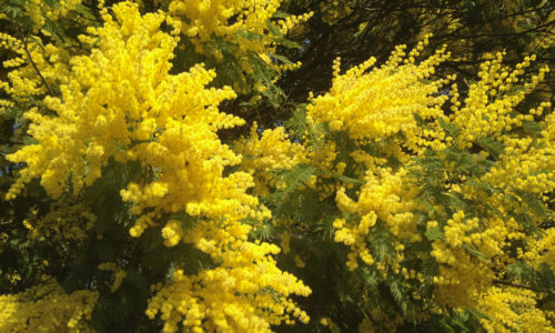 Le mimosa : la fleur d'or de la Côte d'Azur